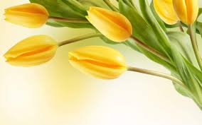 yellow tulip flowers wallpaper 34611607