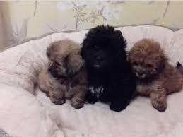 shih poo puppies austin tx