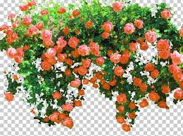 Rose Shrub Flower Png Clipart Annual Plant Cut Flowers Fence Floral Design Flower Free Png Download