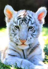 white tigers cubs wonder what an ideal