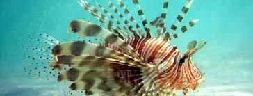 Invasive Species: Lion Fish – Haley Zanga's E-Port
