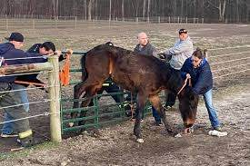 Look Firefighters Rescue Horse With Back Legs Stuck In Fence Upi Com