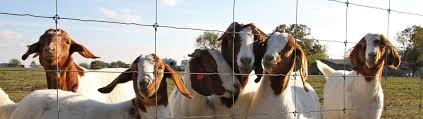 Best Goat Fencing System Electric Wire Fence For Goats By Stay Tuff