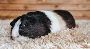 sick guinea pig how to tell when your