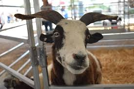 Goat Silly Face Meme Animal Horns Expression Farm Barn Fence Zoo Pikist