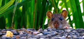 How To Get Rid Of Rats In Garden Rentokil Pest Control Experts