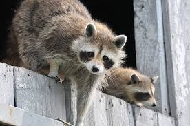 7 Ways To Keep Raccoons From Invading Your Homestead Off The Grid News
