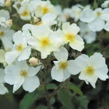 rosen kaufen kew gardens