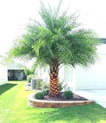 palm tree front yard muconnect co