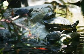 Why I Don T Like Turtles In My Ponds Pond Trade Magazine