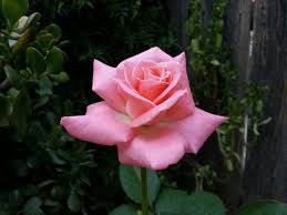 "Sonia"" Hybrid Tea Rose"