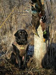 46 hunting dog wallpapers on wallpaperplay