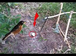 primitive foot snare bird trap in