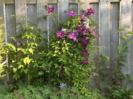 7 Climbing Vines To Cover Up Your Ugly Fencing Architectural Digest