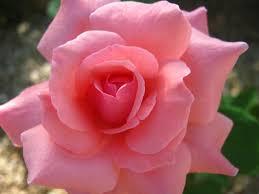 roses free stock photo public domain