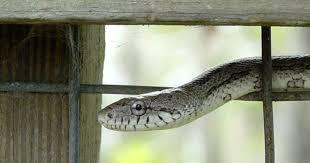 How To Keep Snakes Out Of Your Chicken Coop