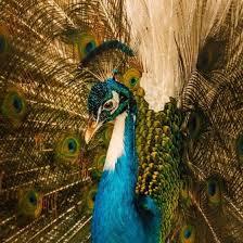 Peacock at Ada Ryan Gardens | Animals beautiful, Pet birds, Pretty birds