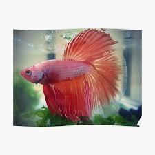 orange betta fish posters redbubble