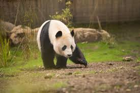 Giant Panda Shocked By Electric Fence At Edinburgh Zoo Bicester Advertiser