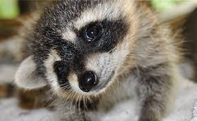 How To Keep Raccoons Out Of Your Yard