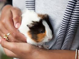 know before getting a pet guinea pig