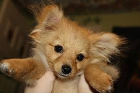 mix between a pomeranian and a toy poodle