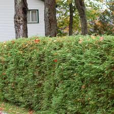 Living Privacy Fences Using Shrub Hedges