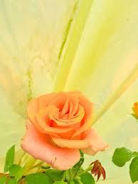 مشتل شقائق النعمان بائع زهور مصراتة ٢ ١٢٢ صورة فيسبوك