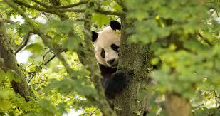 Edinburgh Zoo Live Panda cam ...