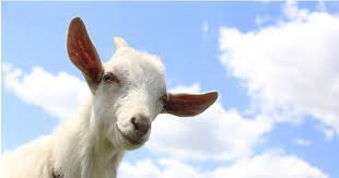 inspirational quotes from goats to brighten your day