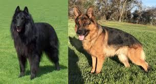 belgian shepherd dog groenendael vs