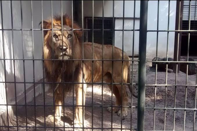 """Resultado de imagem para leão na jaula"""""""