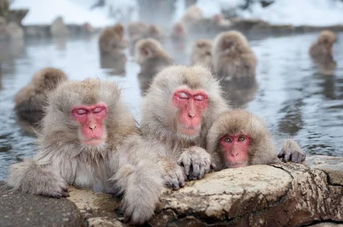 """Картинки по запросу """"онсен с обезьянами"""""""""""