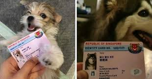 singapore now issues adorable running licenses for dogs that