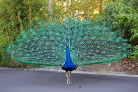 The Biggest Animals Kingdom: Peacock