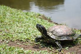 Should You Keep Your Aquatic Turtle Outdoors The Tye Dyed Iguana Reptiles And Reptile Supplies In St Louis