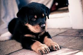 dog s rottweiler puppies 1080p