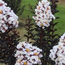 Buy Ebony and Ivory Crape Myrtle Trees | Garden Goods Direct