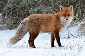 Animal Powered 5: Fox