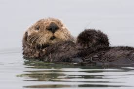 sea otters water wallpaper background