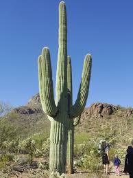 File:Carnegiea gigantea in Saguaro National Park near Tucson ...