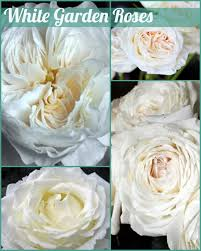 Floral Friday ~ White Garden Roses   Dreisbach Wholesale Florists