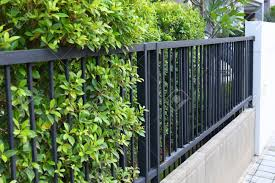 Black Steel Iron Fence Of Boundary House With Green Leaf Of Shrub Stock Photo Picture And Royalty Free Image Image 141465833