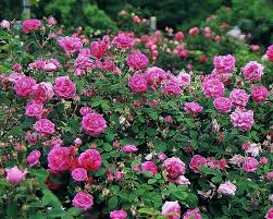 what is an old garden rose finegardening