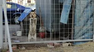 The Dog Is Barking Behind A Fence Stock Video C Video Rost 88207400