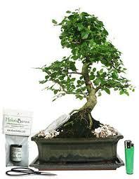 ligustrum ovalfolium indoor bonsai tree