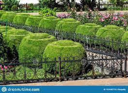 A Flowerbed Fenced With An Iron Fence With Roses And Boxwood Bushes Topiary Stock Photo Image Of Bush Green 137445774
