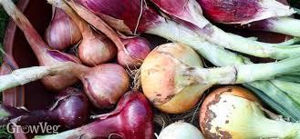 the art of harvesting onions