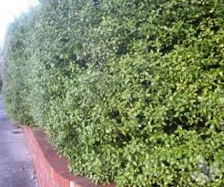 Selection Spacing Planting Tips To Help You Hedge Collections Speciality Trees