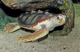 If You See A Sea Turtle In The Chesapeake Consider Yourself Very Lucky Wildlife Habitat Bayjournal Com